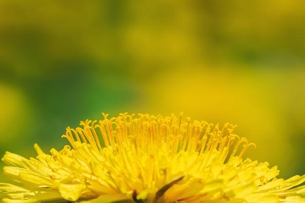 Primo piano di un dente di leone giallo di fioritura su un prato soleggiato.