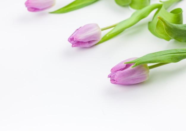 Primo piano di un fiore di tulipano viola su sfondo semplice