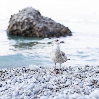 Primo piano di un gabbiano sulla costa a pebble beach