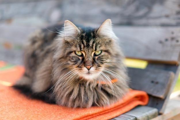 Primo piano di un gatto che esamina la macchina fotografica con vago. gatto tranquillo seduto all'aperto in estate.