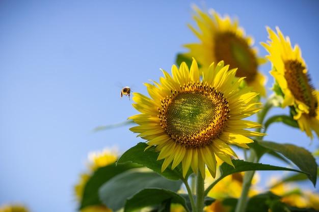 Primo piano di un girasole e di un'ape che vola vicino esso un giorno soleggiato
