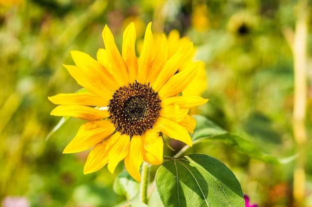 Primo piano di un girasole in un giardino sotto la luce del sole con uno sfondo sfocato