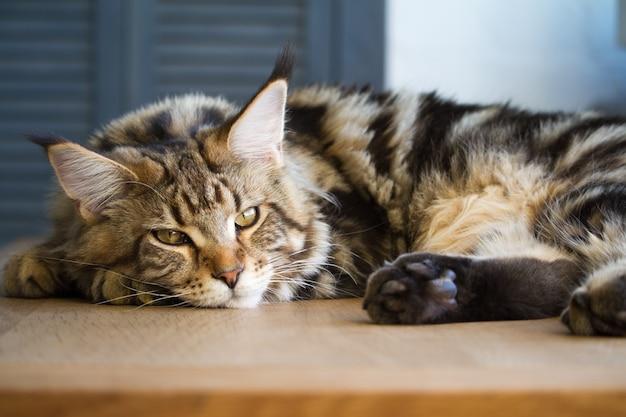 Primo piano di un grande di mezza età assonnato maine coon gattino sdraiato su un tavolo all'interno minimalista della cucina, messa a fuoco selettiva