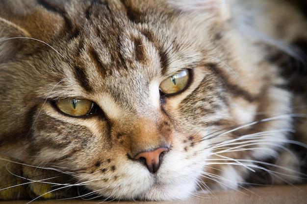 Primo piano di un grande gattino di mezza età assonnato di maine coon