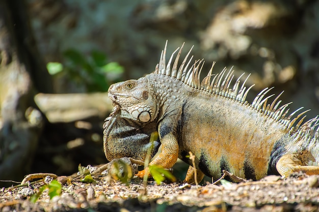 Primo piano di un'iguana nella foresta