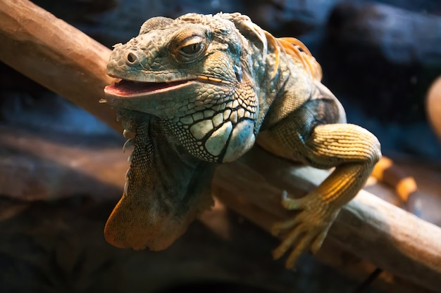 Primo piano di un'iguana verde maschio (iguana dell'iguana). primo piano verde del ritratto del rettile dell'iguana