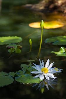 Primo piano di un loto sacro bianco su un lago sotto la luce del sole con uno sfondo sfocato