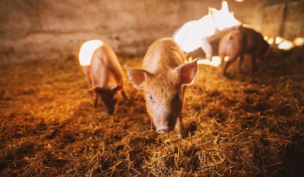 Primo piano di un maiale che gioca in un porcile. gruppo di maiali