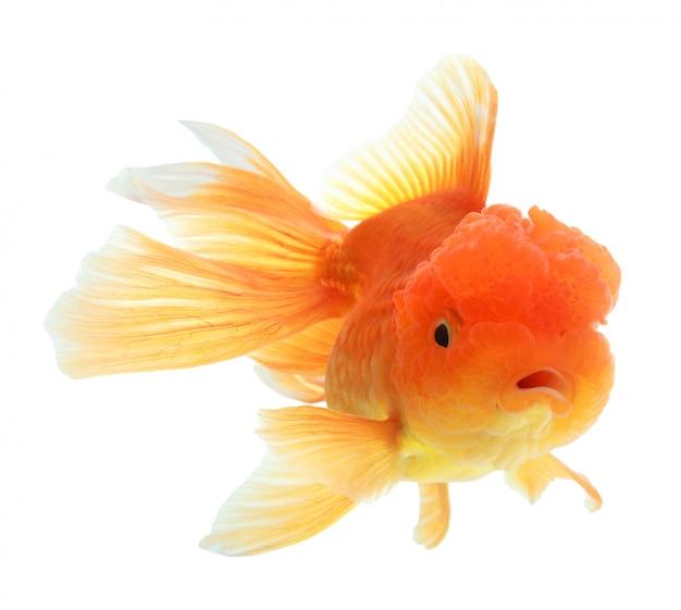 Primo piano di un pesce rosso isolato