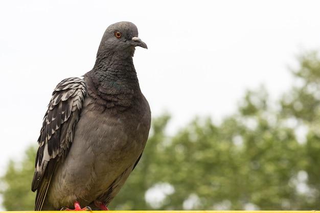 Primo piano di un piccione su uno sfondo sfocato