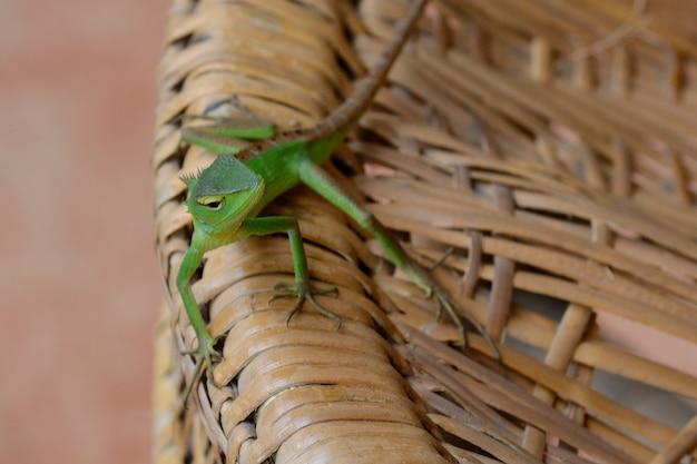 Primo piano di un piccolo camaleonte verde