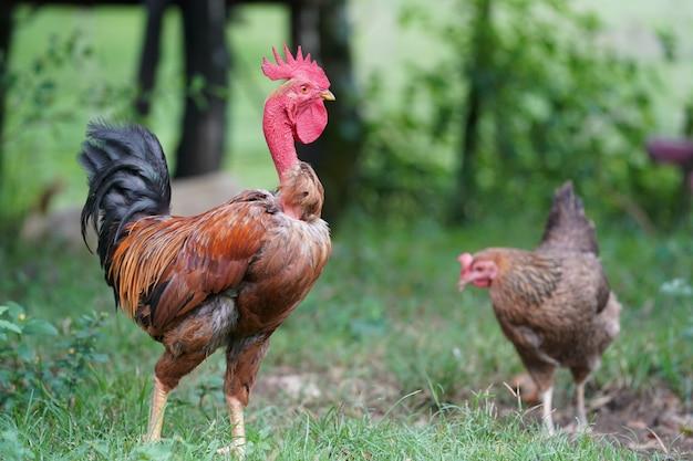 Primo piano di un pollo che sta in un campo erboso