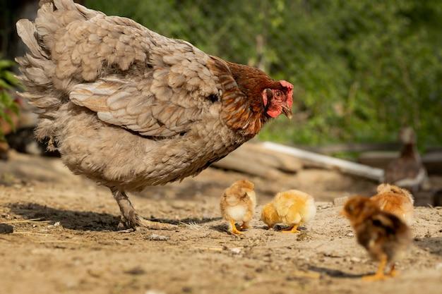 Primo piano di un pollo madre con i suoi pulcini bambino nella fattoria. gallina con galline
