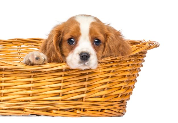Primo piano di un re sprezzante cavalier king charles puppy