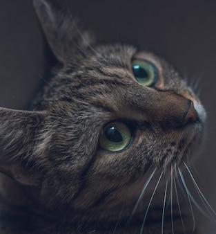Primo piano di un simpatico gatto grigio domestico che osserva in su con i bei grandi occhi
