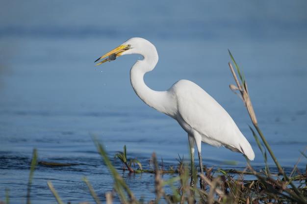 Primo piano di un uccello airone bianco maggiore che gode del suo pasto mentre levandosi in piedi nell'acqua del lago