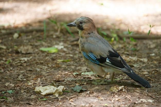 Primo piano di un uccello con piume luminose, noto come una ghiandaia seduta per terra tra il fogliame