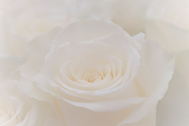 Primo piano di una bella rosa bianca.