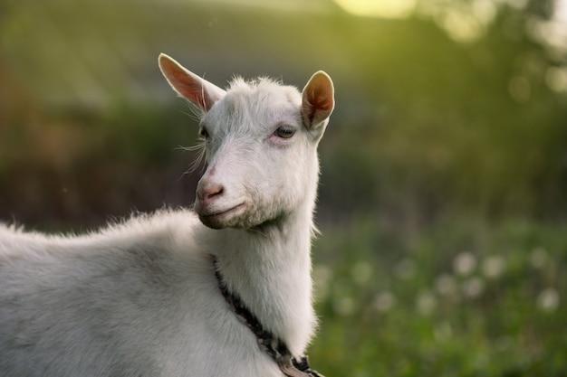 Primo piano di una capra bianca. chiuda sulla capra in azienda agricola su erba verde