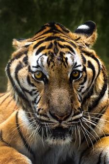Primo piano di una faccia di tigri