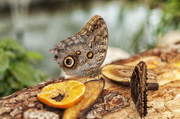 Primo piano di una farfalla di buckeye comune che mangia frutti