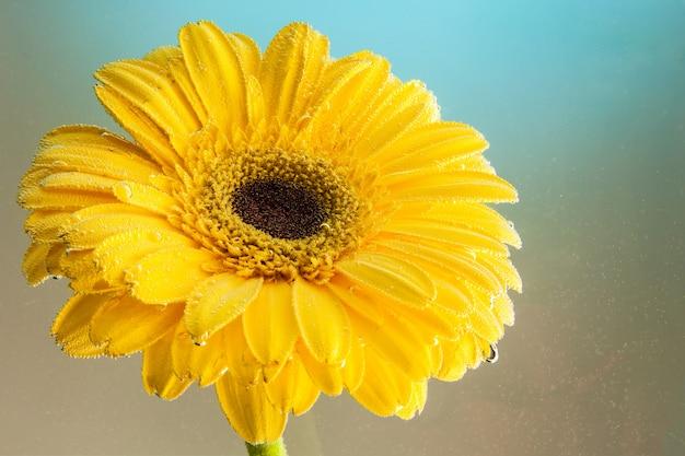 Primo piano di una gerbera gialla fresca, coperta di goccioline di acqua su una priorità bassa isolata blu e gialla. fotografia in studio di un fiore naturale