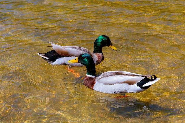 Primo piano di una giovane coppia di anatre maschili e femminili in amore nuoto lago pulito