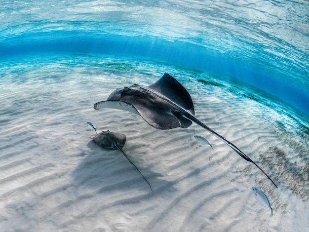 Primo piano di una pastinaca con il suo bambino che nuota sott'acqua con altri pesci