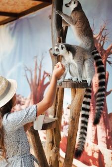 Primo piano di una ragazza che si alimenta alle lemure dalla coda ad anelli nello zoo