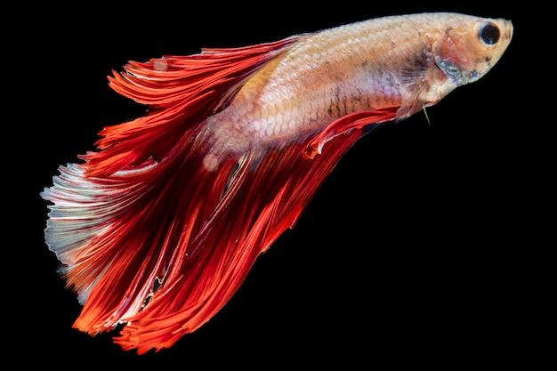 Primo piano dumbo betta splendens combattimenti di pesce