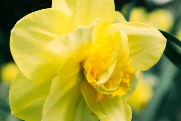 Primo piano estremo del fiore del daffodil