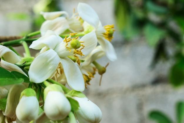 Primo piano fiore bianco di citrus grandis, citrus maxima, pomelo