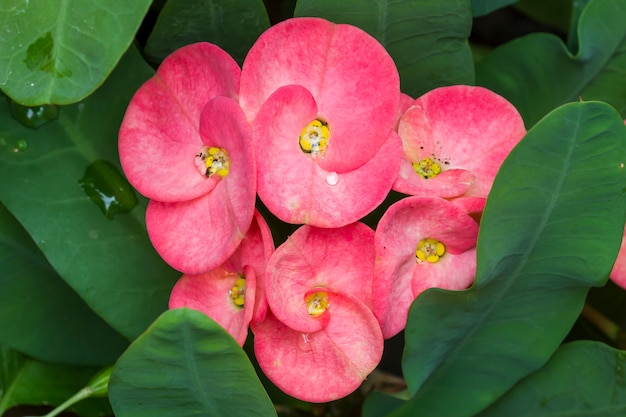 Primo piano fiori di spine (euphorbia milli desmou)