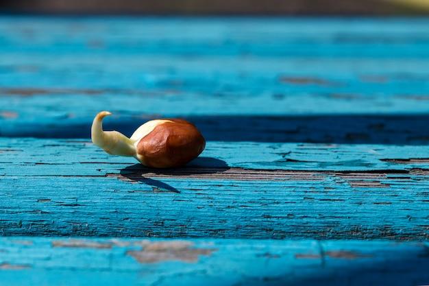 Primo piano germogliato delle arachidi. avvicinamento.