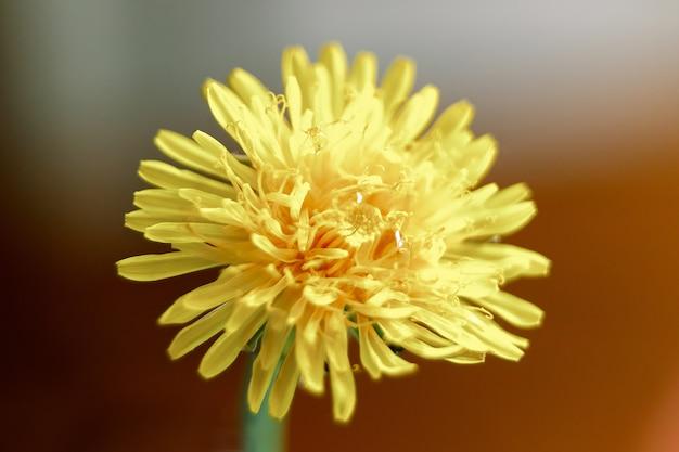 Primo piano giallo del dente di leone, primo piano dei fiori, colore giallo