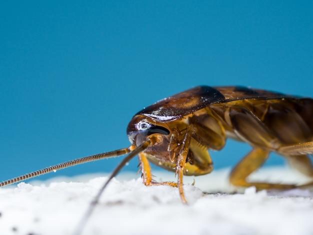 Primo piano gli scarafaggi stanno mangiando la crema bianca del biscotto