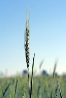 Primo piano ibrido dell'orecchio del cereale triticale