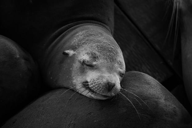 Primo piano in scala di grigi colpo di un simpatico foca addormentata