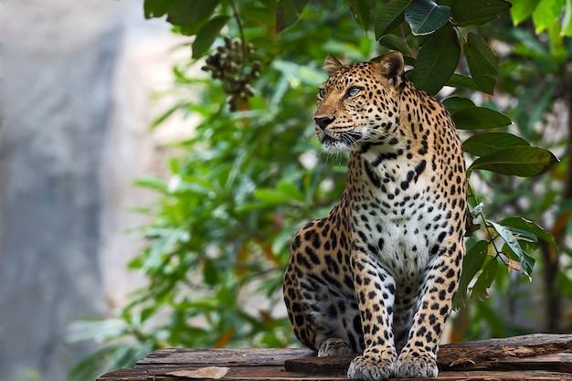 Primo piano leopardo.