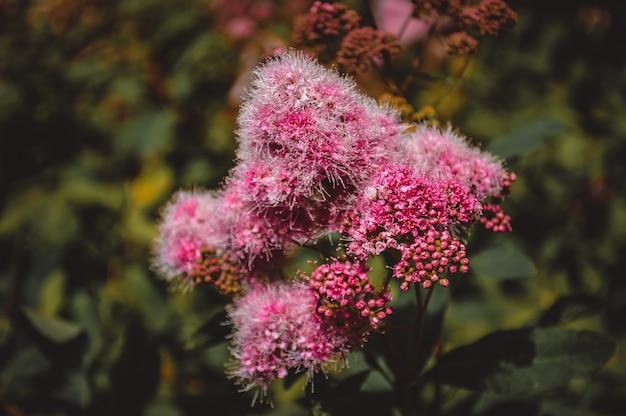 Primo piano lilla del fiore, fiori del giardino