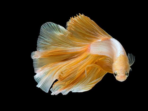 Primo piano movimento artistico del pesce betta, pesce combattente siamese.