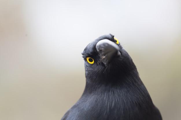 Primo piano pezzato di estremo di currawong dell'uccello australiano