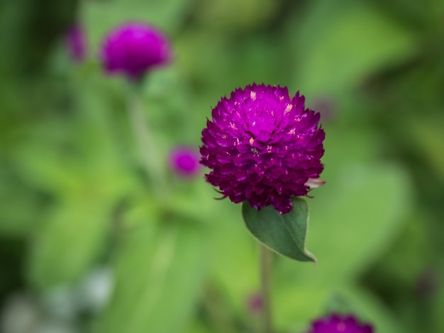 Primo piano porpora del fiore di gomphrena globosa