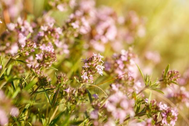 Primo piano rosa dei wildflowers del giorno soleggiato, una priorità bassa naturale del piccolo fuoco