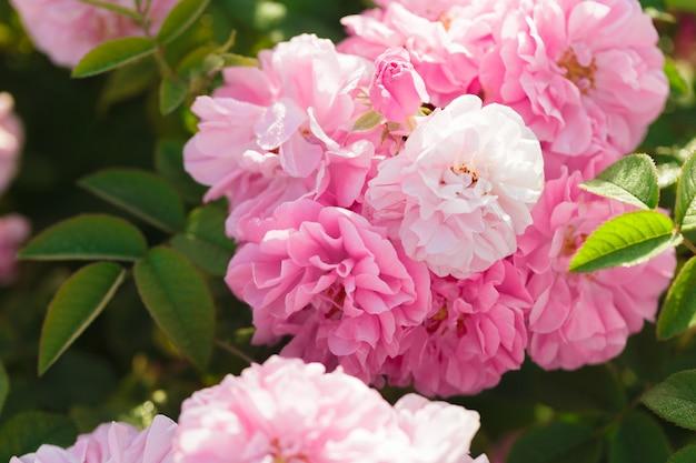 Primo piano rosa del cespuglio di rose sulla superficie del campo