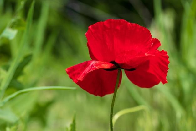 Primo piano rosso del papavero, fiore selvaggio nel giardino.