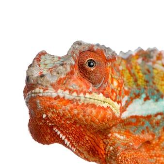 Primo piano su un camaleonte furcifer pardalis isolato