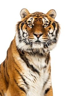Primo piano su una tigre maschio che esamina la macchina fotografica, grande gatto