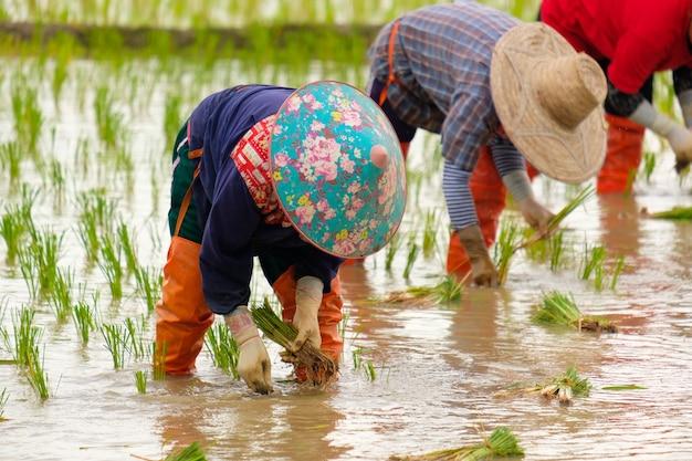 Primo piano sugli agricoltori che piantano riso riso sul campo di riso