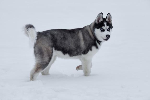 Primo piano sugli occhi azzurri di un bellissimo cane husky. cane husky siberiano all'aperto. ritratto del husky siberiano nella natura nell'orario invernale.